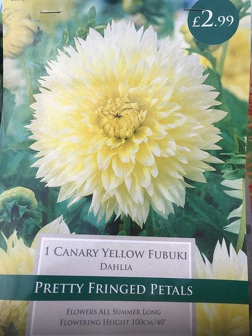 """Dahlia """"Canary Yellow"""""""