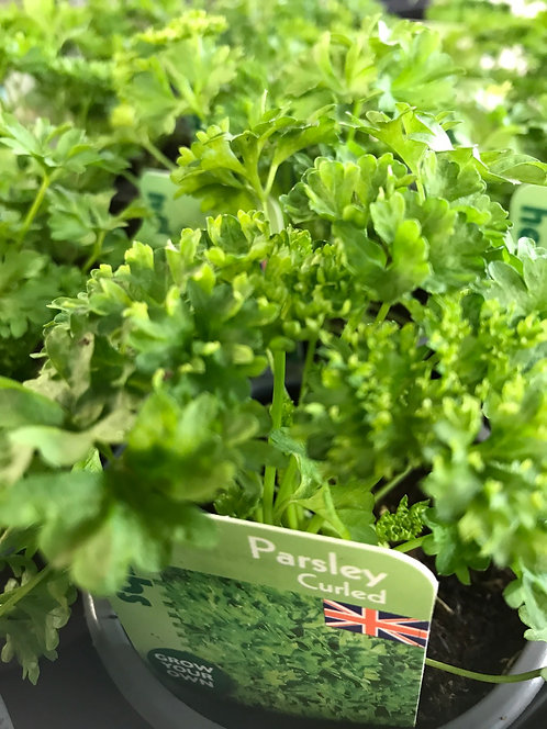 """Parsley """"Curled"""" 9cm"""