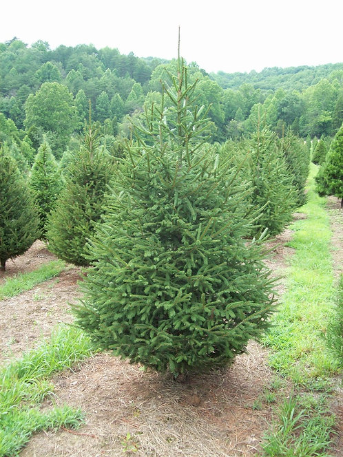 Premier Cut Norway Spruce 200-225cm