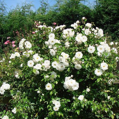 Iceberg Rose 'Pure White' 3L