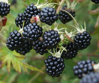 Blackberry 'Oregon Thornless' 3l
