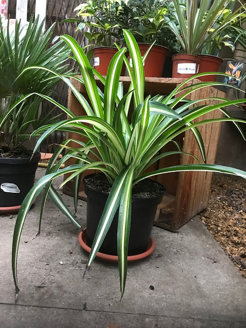 Spider Plant 3L