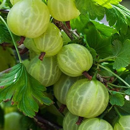 Gooseberry 'Invicta' 3l