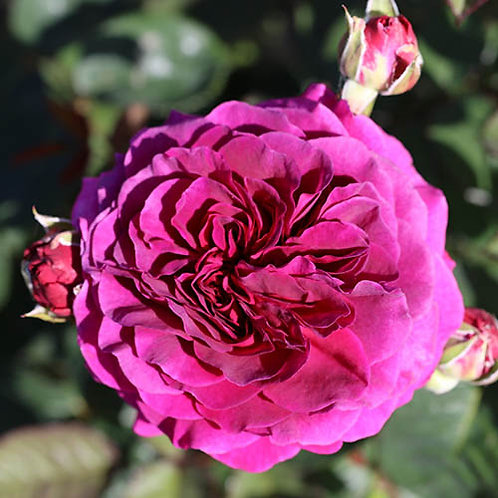 Timeless Purple 'Hybrid Tea' 3L