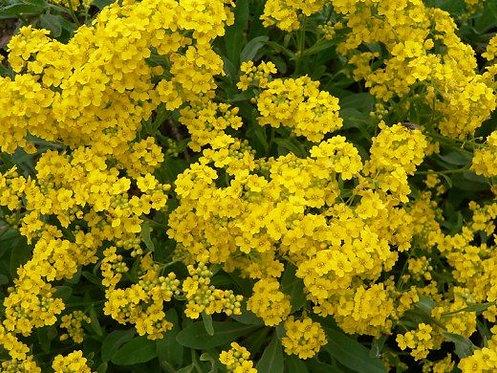 Aurinia Summit™ Yellow 2l
