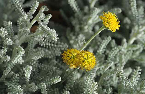 Santolina 'Chamaecyparissus' 1l