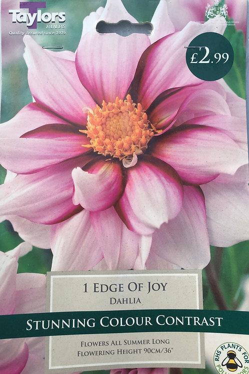 Dahlia 'Edge of Joy'