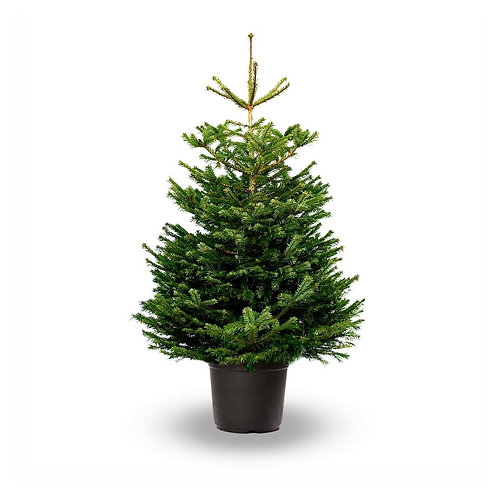 Pot Grown Norway Spruce 100-120cm