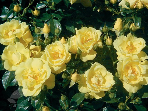 Flower Carpet Rose 'Sunshine' 3L