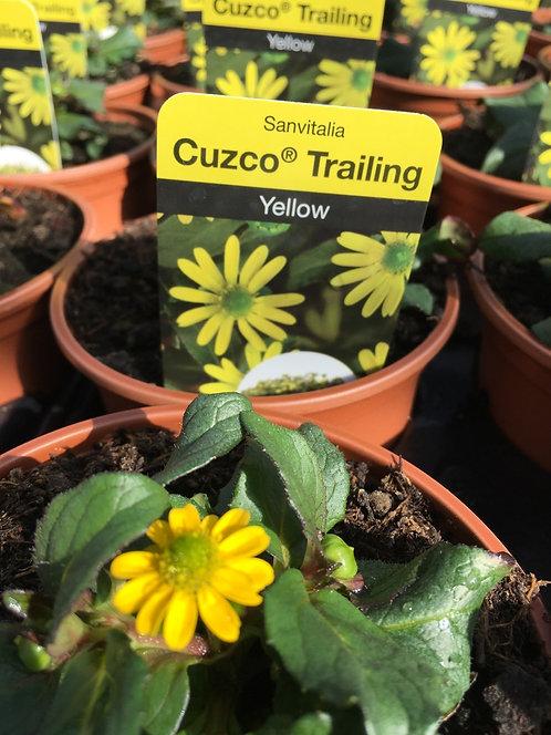 Sanvitalia 'Cuzco Trailing' Yellow