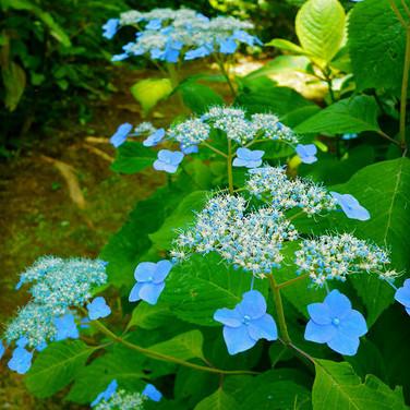Summer flowers, Hydrangea