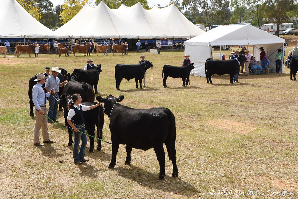 It was Angus feature show at this year's Toowoomba Royal.