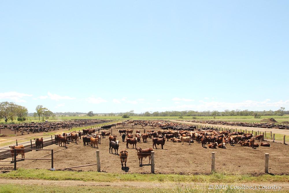 Cattle at Wonga Plains Feedlot, Bowenville.