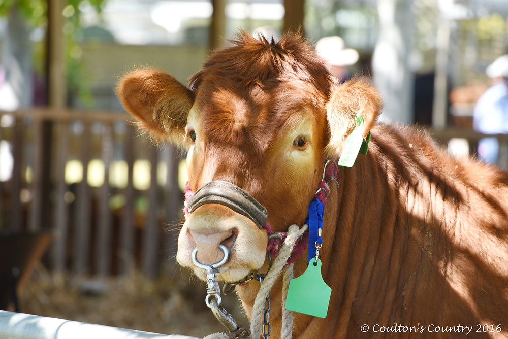 It may have been the Limousin Youth Cattle Camp but other breeds of cattle were more than welcome to come along.