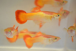 Guppy Male Flame