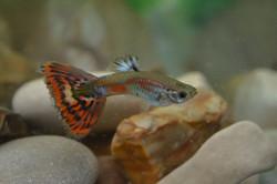Multicolor Male Guppy