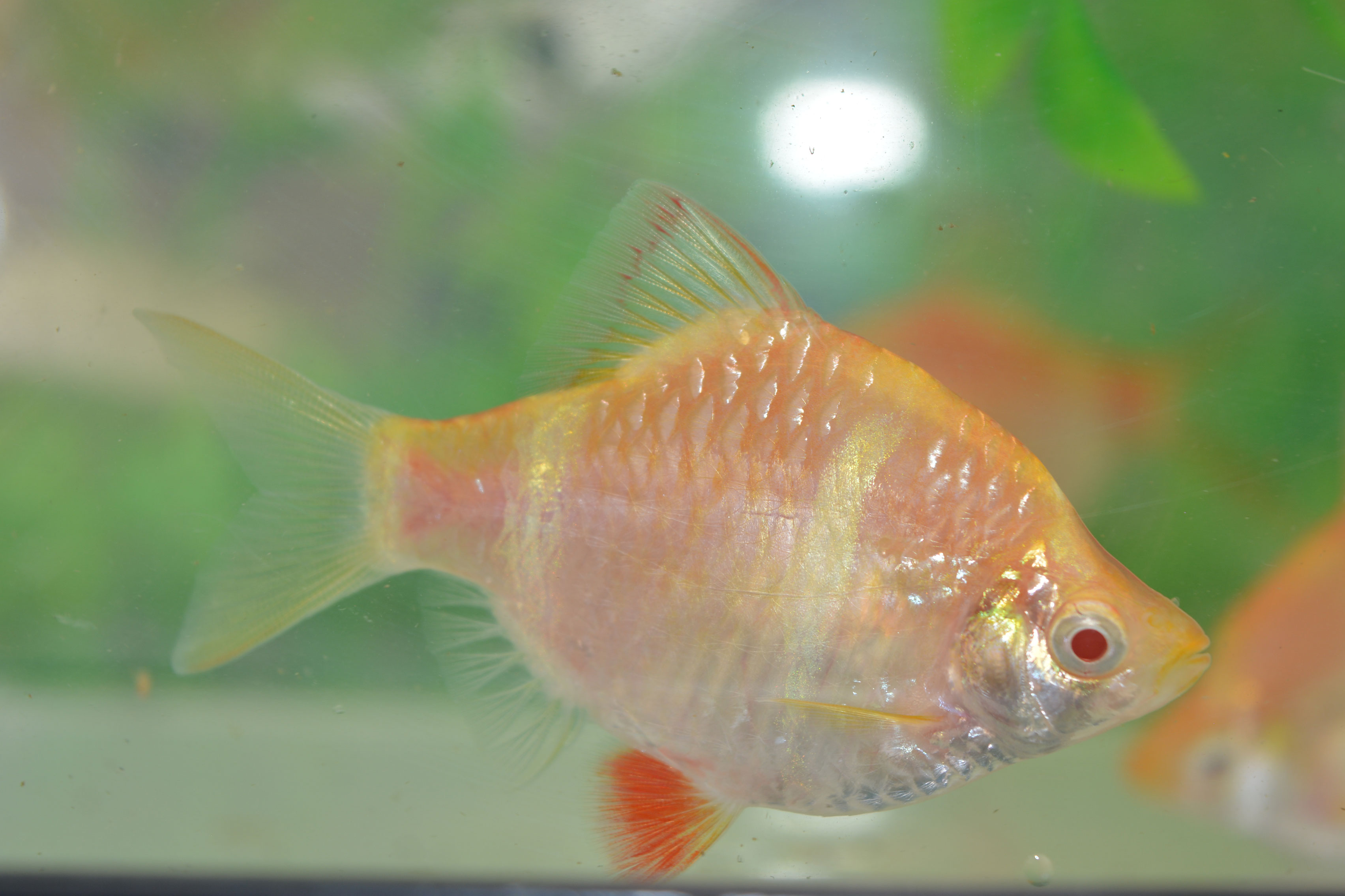 Golden Tiger Barb
