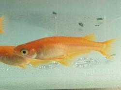 Orange Medaka