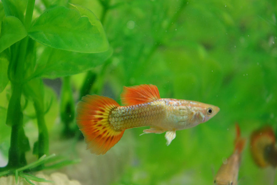 Golden Flame Male Guppy