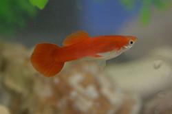 Full Red Male Guppy