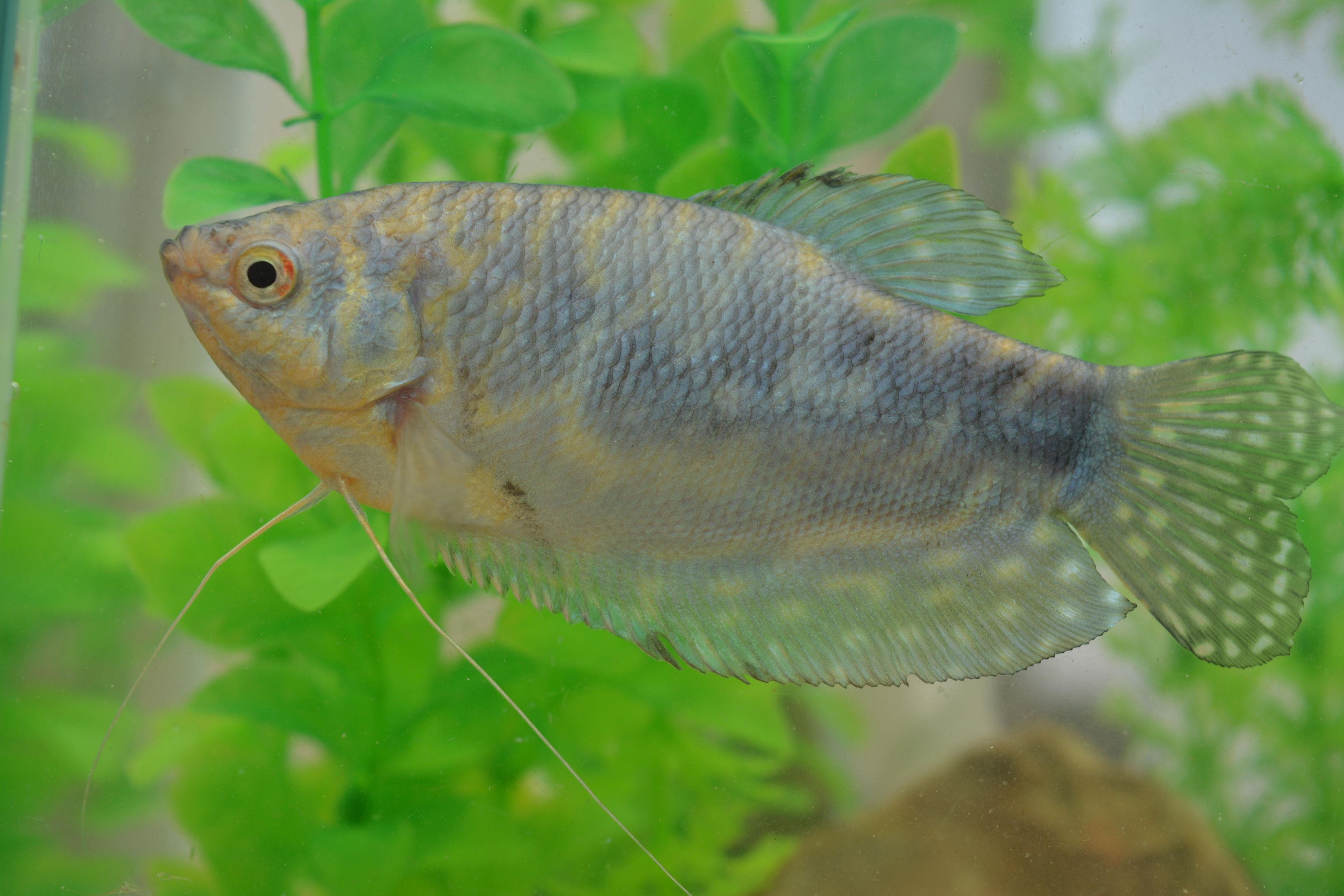 Gourami Blue Cosby