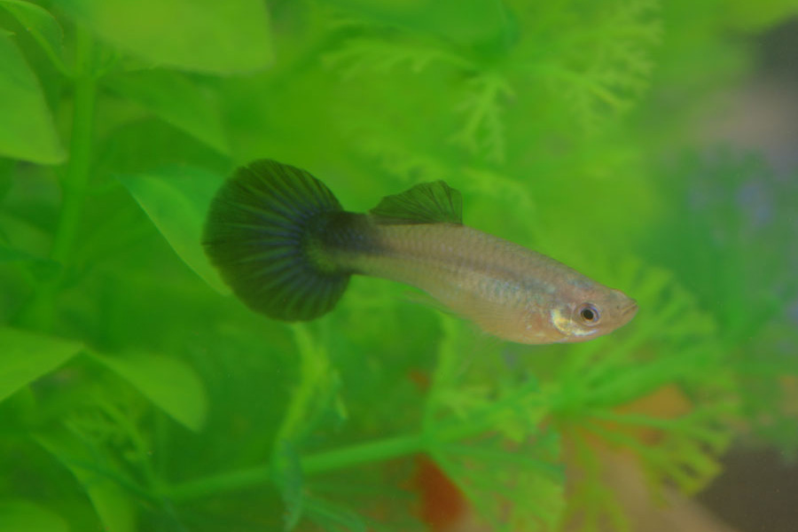 Silver Blue Tail Male Guppy