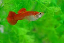 Guppy Male Full Red