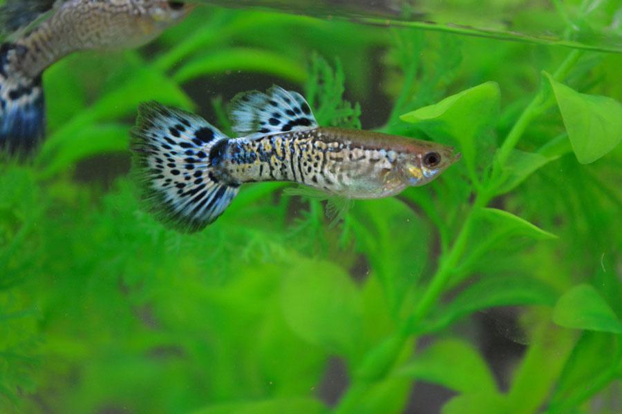 Snake Skin Blue Male Guppy