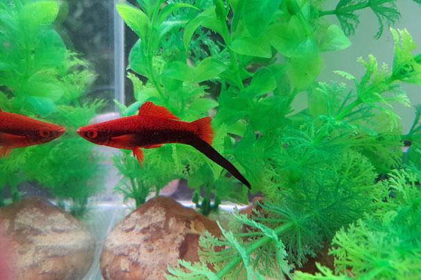Tuxedo red swordtail