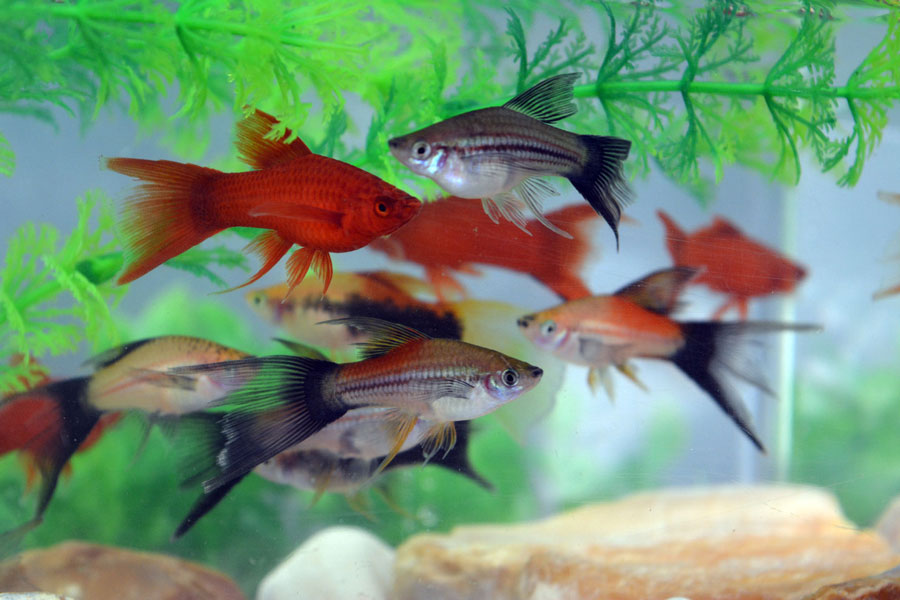 Mix Lyretail Swordtail
