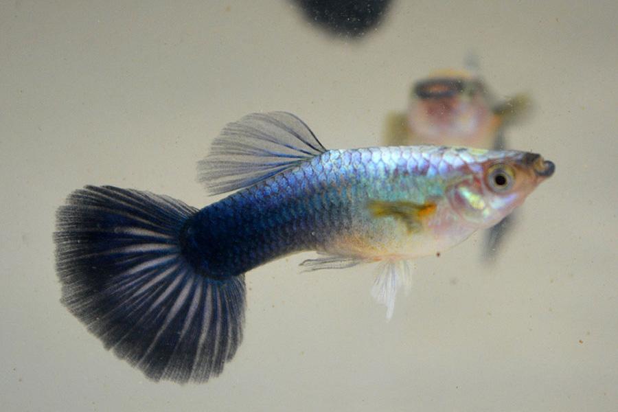 Guppy Male Blue Neon