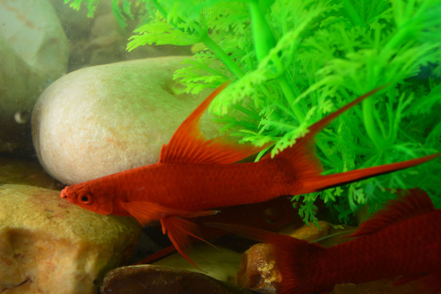 Red Velvet Lyretail Swordtail