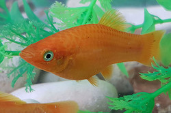 Orange Molly