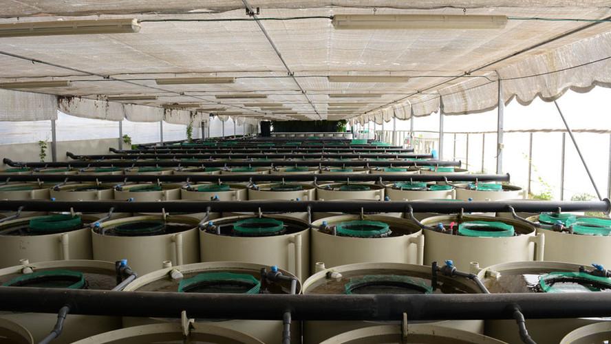 Breeding-Section,-Guppy-breeding-tanks