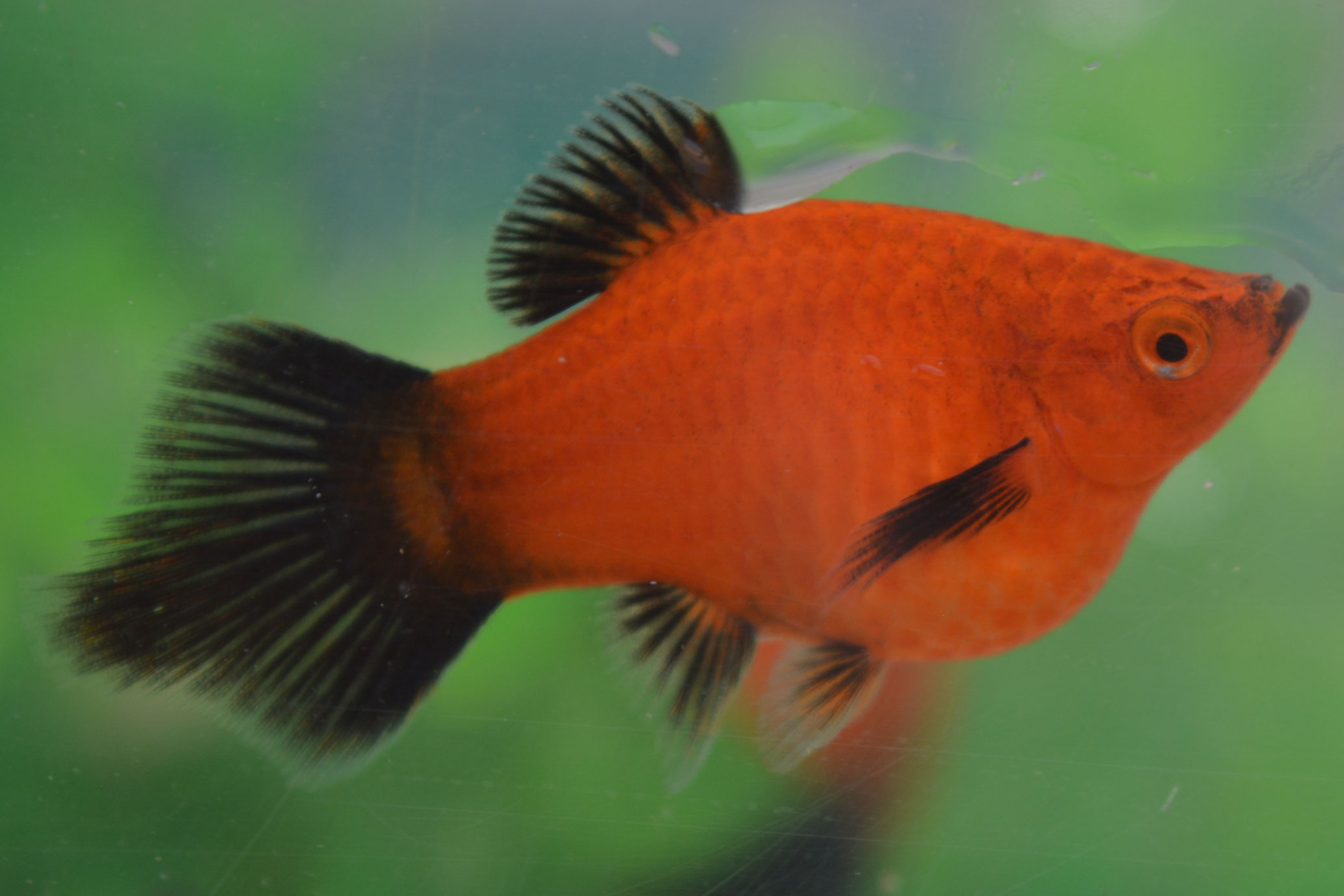 Coral Red Wagtail Shpitz Platy