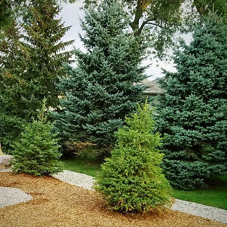 sod irrigation custom landscaping trees_edited.jpg