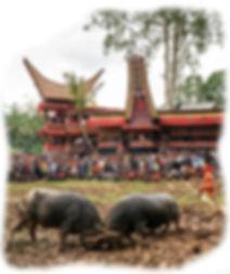 Adu Kerbau (2).jpg