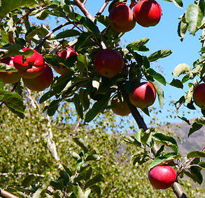 A new crop of apples at Pip's Orchard Bed and Breakfast, Gibbston Valley