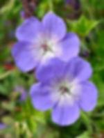 mpp_geranium-rozanne1.jpg