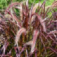 pennisetum-rubrum-tc.jpg