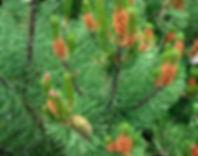 Pinus contorta contorta male female stro