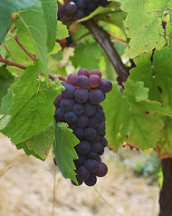 grappe-pinot-gris-pinot-beurot-domaine-du-buisson