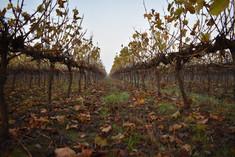 domaine-du-buisson-vigne-automne.JPG