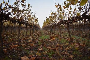 domaine-du-buisson-vigne-automne-2.jpg