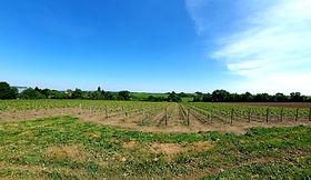 domaine-du-buisson-vigne-printemps-1.png