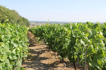 Domaine du Buisson - Vigne été.JPG