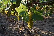 muscat-domaine-du-buisson-vigne-grappes.
