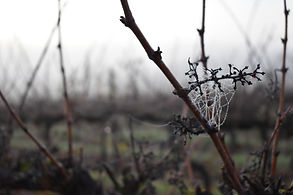 domaine-du-buisson-rafles-vigne-rosee-matinale-hiver.JPG