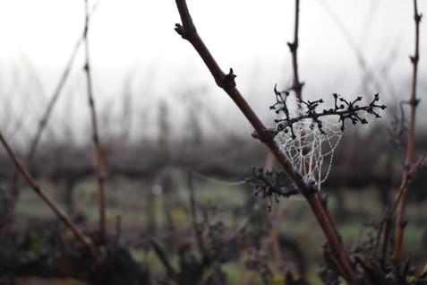 domaine-du-buisson-vigne-hiver.JPG