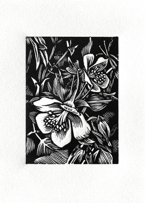 Aquilegia Wood Engraving